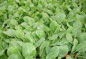 Warzywa rozsady sadzonki kapusta kalafior brokuly salata...