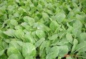 Warzywa rozsady sadzonki warzyw i ziół kapusta kalafior...