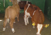 cielak cielaki cielęta byczki 1