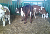cielak cielaki cielęta byczki 5