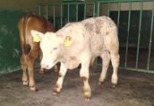 cielak cielaki cielęta byczki 15