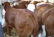 cielak cielaki cielęta byczki 16