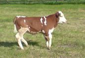 cielak cielaki cielęta byczki 17