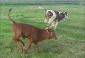 cielak cielaki cielęta byczki 21