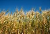 Żyto Skup zbóż, kupię wszystkie zboża paszowe(pszenic...