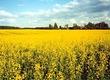 Rzepak Kupię zboże, kukurydzę rzepak