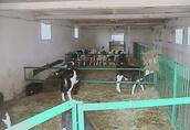 Sprzedaż cieląt ras mięsnych (byczki) w ciągłej sprzedaży 2