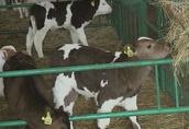 Sprzedaż cieląt ras mięsnych (byczki) w ciągłej sprzedaży 3