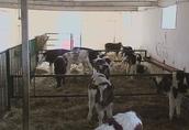 Sprzedaż cieląt ras mięsnych (byczki) w ciągłej sprzedaży 5
