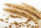 Skup zbóż ekologicznych 1