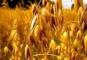 Skup zbóż ekologicznych 2