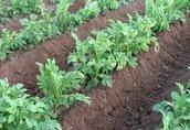 EP maszyna do pielęgnacji i okrywania roślin 4
