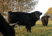 highland cattel krowy jałówki byki