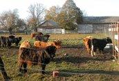 highland cattel krowy jałówki byki 1