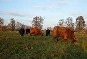 highland cattel krowy jałówki byki 2