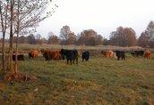 highland cattel krowy jałówki byki 3