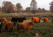 highland cattel krowy jałówki byki 4