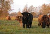 highland cattel krowy jałówki byki 5