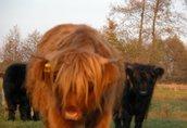 highland cattel krowy jałówki byki 6