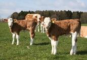 byczki mięsne cielaki cielęta sprzedam-BYKPOL 4