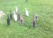Kaczki Sprzedam jaja lęgowe kaczek biegus