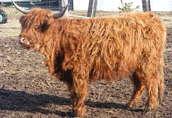 Highland Catte 1