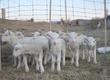 Owce jagnieta wykoty z lutego 2012roku