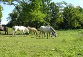 Kuce Walijskie Małe Konie
