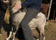 Kozy Milusiński, bardzo kontaktowy 2