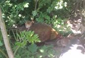 Kurczaki - pisklęta zielononóżki, kuropatwiane 1
