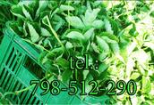 sadzonki truskawek honeoye 0, 40gr/szt