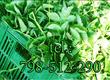 Dom i ogród Sprzedam sadzonki truskawek odmiany
