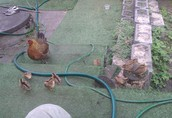 Kurczaki - pisklęta zielononóżki, kuropatwiane 3