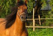 LIKWIDACJA HODOWLI - konie huculskie