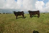 Byk mięsny Welsk Black Bydło rasy mięsnej www.welshblack.pl zachodniopomorskie