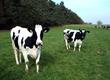Krowy Sprzedam hodowlane krowy rasy hf