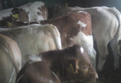Jałówki mięsne,jałóweczki,cieliczki,simental,limuze 6