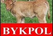 Cielaki i opasy firma bykpol posiada w ciągłej sprzedaży byczki...