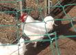 Pozostałe trzoda chlewna Sprzedam jaja lęgowe kur Marans