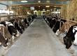 Cielaki i opasy Sprzedam byczki, cielaki mięsne