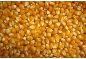 Sprzedam kukurydzę suchą woj.mazowieckie