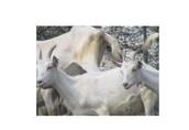 Koza mleczna Piękna 50 szt