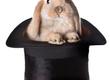 Króliki Sprzedam króliki z certyfikatem