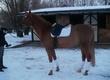 Wałachy Koń do dużego sportu z dużymi