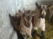 Kozy Mam na sprzedaż tegoroczne koźl