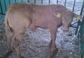 Kupię byczka belgijsko błekitno białego lub charolaise