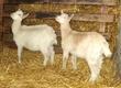 Kozy Sprzedam młodą kózkę wraz z kozio
