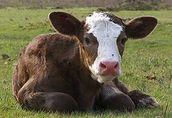Kupię byczki mięsne lub mieszańce, 60 sztuk