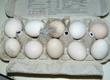 Jaja Mam do sprzedania jaja lęgowe zielonon