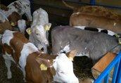 cielaki byczki mięsne, krzyżówki oraz simentale 100% rasy